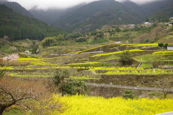 お米の緑肥栽培